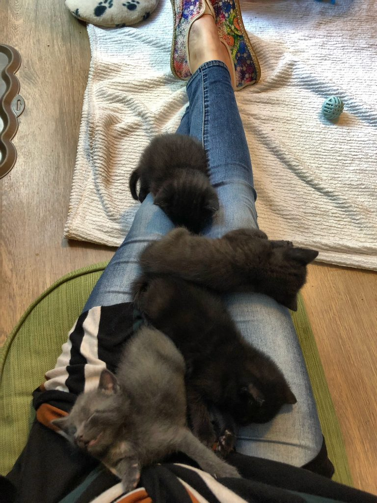Foster Kittens Laying on Lap